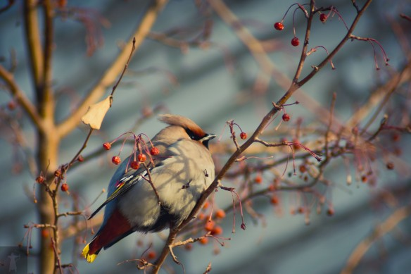 This Waxwing takes a break from his lunch break.